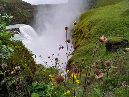 Blume am Hang des Gullfoss